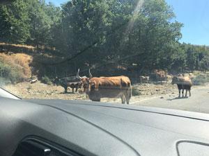 Vacas camino a Cala Goloritzè